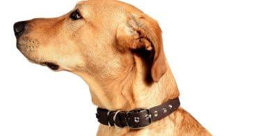 Collier cuir pour chien